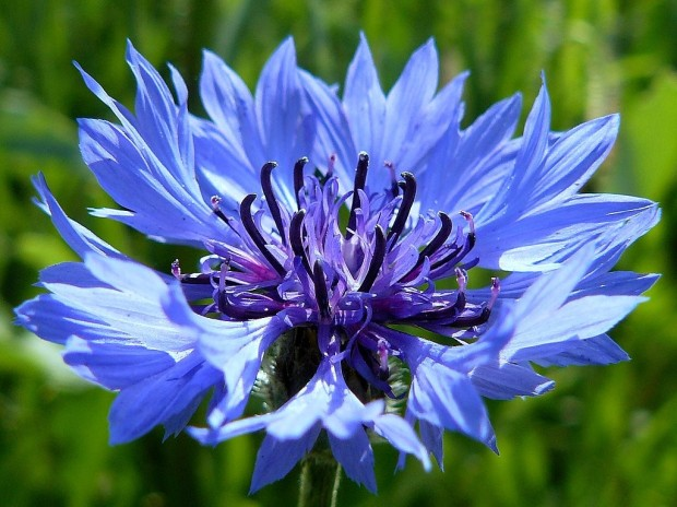 centaurea-cyanus_1.jpg